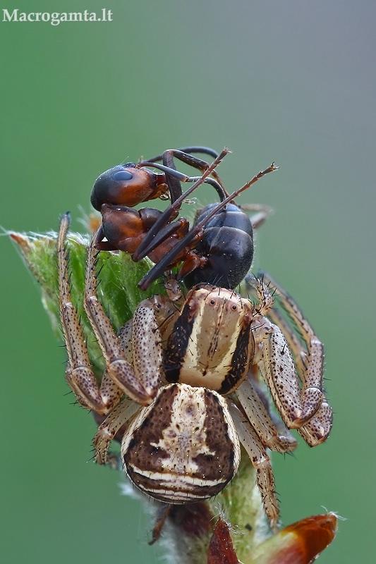 Paprastasis krabvoris - Xysticus cristatus  | Fotografijos autorius : Gintautas Steiblys | © Macrogamta.lt | Šis tinklapis priklauso bendruomenei kuri domisi makro fotografija ir fotografuoja gyvąjį makro pasaulį.