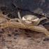 Guobinis krabvoris - Xysticus ulmi ♀ | Fotografijos autorius : Žilvinas Pūtys | © Macrogamta.lt | Šis tinklapis priklauso bendruomenei kuri domisi makro fotografija ir fotografuoja gyvąjį makro pasaulį.