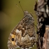 Pušyninis satyras - Hipparchia semele | Fotografijos autorius : Zita Gasiūnaitė | © Macrogamta.lt | Šis tinklapis priklauso bendruomenei kuri domisi makro fotografija ir fotografuoja gyvąjį makro pasaulį.