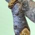 Tošinis kuoduotis - Phalera bucephala | Fotografijos autorius : Aleksandras Riabčikovas | © Macrogamta.lt | Šis tinklapis priklauso bendruomenei kuri domisi makro fotografija ir fotografuoja gyvąjį makro pasaulį.