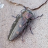 Ąžuolinis blizgiavabalis - Chrysobothris affinis | Fotografijos autorius : Romas Ferenca | © Macrogamta.lt | Šis tinklapis priklauso bendruomenei kuri domisi makro fotografija ir fotografuoja gyvąjį makro pasaulį.