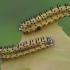 Ąžuolinio pjūklelio - Periclista lineolata lervos | Fotografijos autorius : Gintautas Steiblys | © Macrogamta.lt | Šis tinklapis priklauso bendruomenei kuri domisi makro fotografija ir fotografuoja gyvąjį makro pasaulį.
