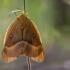 Ąžuolinis verpikas - Lasiocampa quercus | Fotografijos autorius : Dalia Račkauskaitė | © Macrogamta.lt | Šis tinklapis priklauso bendruomenei kuri domisi makro fotografija ir fotografuoja gyvąjį makro pasaulį.