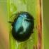Įvairiaspalvis puošnys - Chrysolina varians | Fotografijos autorius : Žilvinas Pūtys | © Macrogamta.lt | Šis tinklapis priklauso bendruomenei kuri domisi makro fotografija ir fotografuoja gyvąjį makro pasaulį.