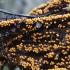 Įvairusis krekenis - Trichia varia | Fotografijos autorius : Vytautas Gluoksnis | © Macrogamta.lt | Šis tinklapis priklauso bendruomenei kuri domisi makro fotografija ir fotografuoja gyvąjį makro pasaulį.