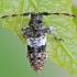 Dėmėtasis žabinukas - Pogonocherus fasciculatus   Fotografijos autorius : Gintautas Steiblys   © Macrogamta.lt   Šis tinklapis priklauso bendruomenei kuri domisi makro fotografija ir fotografuoja gyvąjį makro pasaulį.