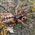 Šešiaakis plyšiavoris - Segestria senoculata  | Fotografijos autorius : Gintautas Steiblys | © Macrogamta.lt | Šis tinklapis priklauso bendruomenei kuri domisi makro fotografija ir fotografuoja gyvąjį makro pasaulį.