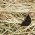 Šeirys - Nymphalis antiopa | Fotografijos autorius : Ramunė Vakarė | © Macrogamta.lt | Šis tinklapis priklauso bendruomenei kuri domisi makro fotografija ir fotografuoja gyvąjį makro pasaulį.