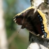 Šeirys - nymphalis antiopa | Fotografijos autorius : Vidas Brazauskas | © Macrogamta.lt | Šis tinklapis priklauso bendruomenei kuri domisi makro fotografija ir fotografuoja gyvąjį makro pasaulį.