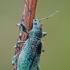 Šeriuotasis lapinukas - Phyllobius arborator | Fotografijos autorius : Gintautas Steiblys | © Macrogamta.lt | Šis tinklapis priklauso bendruomenei kuri domisi makro fotografija ir fotografuoja gyvąjį makro pasaulį.
