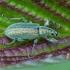 Šeriuotasis lapinukas - Phyllobius arborator | Fotografijos autorius : Žilvinas Pūtys | © Macrogamta.lt | Šis tinklapis priklauso bendruomenei kuri domisi makro fotografija ir fotografuoja gyvąjį makro pasaulį.