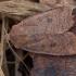 Šilauoginis vėlyvis - Conistra vaccinii   Fotografijos autorius : Žilvinas Pūtys   © Macrogamta.lt   Šis tinklapis priklauso bendruomenei kuri domisi makro fotografija ir fotografuoja gyvąjį makro pasaulį.