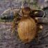 Šilkaplaukis apsimetėlis - Niptus hololeucus | Fotografijos autorius : Žilvinas Pūtys | © Macrogamta.lt | Šis tinklapis priklauso bendruomenei kuri domisi makro fotografija ir fotografuoja gyvąjį makro pasaulį.