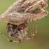 Šiltnaminis storapilvis - Parasteatoda tepidariorum | Fotografijos autorius : Gintautas Steiblys | © Macrogamta.lt | Šis tinklapis priklauso bendruomenei kuri domisi makro fotografija ir fotografuoja gyvąjį makro pasaulį.