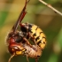 Širšuolas - Vespa crabro | Fotografijos autorius : Ramunė Vakarė | © Macrogamta.lt | Šis tinklapis priklauso bendruomenei kuri domisi makro fotografija ir fotografuoja gyvąjį makro pasaulį.