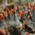 Meškapėdė - Peltigera neckeri | Fotografijos autorius : Gintautas Steiblys | © Macrogamta.lt | Šis tinklapis priklauso bendruomenei kuri domisi makro fotografija ir fotografuoja gyvąjį makro pasaulį.