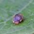 Šlaitinė boružė - Platynaspis luteorubra | Fotografijos autorius : Romas Ferenca | © Macrogamta.lt | Šis tinklapis priklauso bendruomenei kuri domisi makro fotografija ir fotografuoja gyvąjį makro pasaulį.
