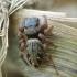 Šokliavoris - Salticidae | Fotografijos autorius : Vidas Brazauskas | © Macrogamta.lt | Šis tinklapis priklauso bendruomenei kuri domisi makro fotografija ir fotografuoja gyvąjį makro pasaulį.