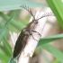 Šukaūsis pievaspragšis - Ctenicera pectinicornis ♂   Fotografijos autorius : Romas Ferenca   © Macrogamta.lt   Šis tinklapis priklauso bendruomenei kuri domisi makro fotografija ir fotografuoja gyvąjį makro pasaulį.