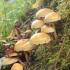 Švelnioji kelmabudė  - Hypholoma capnoides | Fotografijos autorius : Vytautas Gluoksnis | © Macrogamta.lt | Šis tinklapis priklauso bendruomenei kuri domisi makro fotografija ir fotografuoja gyvąjį makro pasaulį.
