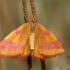 Šviesusis raudonsprindis - Lythria cruentaria | Fotografijos autorius : Ramunė Vakarė | © Macrogamta.lt | Šis tinklapis priklauso bendruomenei kuri domisi makro fotografija ir fotografuoja gyvąjį makro pasaulį.