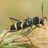 Drebulinis raštenis - Clytus arietis | Fotografijos autorius : Gintautas Steiblys | © Macrogamta.lt | Šis tinklapis priklauso bendruomenei kuri domisi makro fotografija ir fotografuoja gyvąjį makro pasaulį.