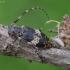 Taškuotasis margūnas - Leiopus punctulatus | Fotografijos autorius : Romas Ferenca | © Macrogamta.lt | Šis tinklapis priklauso bendruomenei kuri domisi makro fotografija ir fotografuoja gyvąjį makro pasaulį.