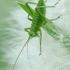 Žaliasis žiogas - Tettigonia viridissima, nimfa | Fotografijos autorius : Vidas Brazauskas | © Macrogamta.lt | Šis tinklapis priklauso bendruomenei kuri domisi makro fotografija ir fotografuoja gyvąjį makro pasaulį.