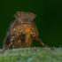 Žaliasis juostuotasis žvilgūnas - Diachrysia chrysitis | Fotografijos autorius : Dalia Račkauskaitė | © Macrogamta.lt | Šis tinklapis priklauso bendruomenei kuri domisi makro fotografija ir fotografuoja gyvąjį makro pasaulį.