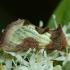 Žaliasis juostuotasis žvilgūnas - Diachrysia tutti (=stenochrysis)   Fotografijos autorius : Žilvinas Pūtys   © Macrogamta.lt   Šis tinklapis priklauso bendruomenei kuri domisi makro fotografija ir fotografuoja gyvąjį makro pasaulį.