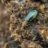Žaliasis pūzdravabalis - Salpingus ruficollis | Fotografijos autorius : Kazimieras Martinaitis | © Macrogamta.lt | Šis tinklapis priklauso bendruomenei kuri domisi makro fotografija ir fotografuoja gyvąjį makro pasaulį.