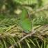 Žalsvasis varinukas - Callophrys rubi | Fotografijos autorius : Mantas Kaupys | © Macrogamta.lt | Šis tinklapis priklauso bendruomenei kuri domisi makro fotografija ir fotografuoja gyvąjį makro pasaulį.