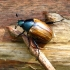 Žiedinis grambuolys - Anomala dubia | Fotografijos autorius : Vitalii Alekseev | © Macrogamta.lt | Šis tinklapis priklauso bendruomenei kuri domisi makro fotografija ir fotografuoja gyvąjį makro pasaulį.