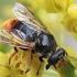 Žiedmusė - Blera fallax | Fotografijos autorius : Gintautas Steiblys | © Macrogamta.lt | Šis tinklapis priklauso bendruomenei kuri domisi makro fotografija ir fotografuoja gyvąjį makro pasaulį.