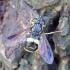 Žiedmusė - Chrysotoxum bicinctum | Fotografijos autorius : Romas Ferenca | © Macrogamta.lt | Šis tinklapis priklauso bendruomenei kuri domisi makro fotografija ir fotografuoja gyvąjį makro pasaulį.