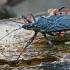 Žieduotoji plėšriablakė - Rhynocoris annulatus | Fotografijos autorius : Gintautas Steiblys | © Macrogamta.lt | Šis tinklapis priklauso bendruomenei kuri domisi makro fotografija ir fotografuoja gyvąjį makro pasaulį.
