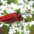 Žiedvabalis - Lygistopterus sanguineus | Fotografijos autorius : Romas Ferenca | © Macrogamta.lt | Šis tinklapis priklauso bendruomenei kuri domisi makro fotografija ir fotografuoja gyvąjį makro pasaulį.