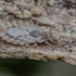 Žieviablakė - Aradus pictus | Fotografijos autorius : Kazimieras Martinaitis | © Macrogamta.lt | Šis tinklapis priklauso bendruomenei kuri domisi makro fotografija ir fotografuoja gyvąjį makro pasaulį.