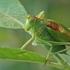Žiogas giesmininkas - Tettigonia cantans | Fotografijos autorius : Gintautas Steiblys | © Macrogamta.lt | Šis tinklapis priklauso bendruomenei kuri domisi makro fotografija ir fotografuoja gyvąjį makro pasaulį.