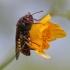 Alksninis cimbeksas - Cimbex connatus | Fotografijos autorius : Agnė Našlėnienė | © Macrogamta.lt | Šis tinklapis priklauso bendruomenei kuri domisi makro fotografija ir fotografuoja gyvąjį makro pasaulį.