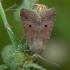 Žvilgrudis vėlyvis - Agrochola lota | Fotografijos autorius : Žilvinas Pūtys | © Macrogamta.lt | Šis tinklapis priklauso bendruomenei kuri domisi makro fotografija ir fotografuoja gyvąjį makro pasaulį.