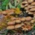 Žvynuotoji skujagalvė - Pholiota squarrosa   Fotografijos autorius : Kęstutis Obelevičius   © Macrogamta.lt   Šis tinklapis priklauso bendruomenei kuri domisi makro fotografija ir fotografuoja gyvąjį makro pasaulį.