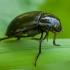Žygiškasis kūdravabalis – Hydrochara caraboides | Fotografijos autorius : Žilvinas Pūtys | © Macrogamta.lt | Šis tinklapis priklauso bendruomenei kuri domisi makro fotografija ir fotografuoja gyvąjį makro pasaulį.