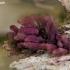 Seinė - Arcyria sp. | Fotografijos autorius : Darius Baužys | © Macrogamta.lt | Šis tinklapis priklauso bendruomenei kuri domisi makro fotografija ir fotografuoja gyvąjį makro pasaulį.