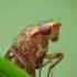Musė - Suillia sp. | Fotografijos autorius : Vidas Brazauskas | © Macrogamta.lt | Šis tinklapis priklauso bendruomenei kuri domisi makro fotografija ir fotografuoja gyvąjį makro pasaulį.