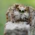 Aelurillus concolor ♂   Fotografijos autorius : Armen Seropian   © Macrogamta.lt   Šis tinklapis priklauso bendruomenei kuri domisi makro fotografija ir fotografuoja gyvąjį makro pasaulį.