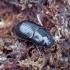 Afodijus - Agoliinus [=Aphodius] nemoralis | Fotografijos autorius : Romas Ferenca | © Macrogamta.lt | Šis tinklapis priklauso bendruomenei kuri domisi makro fotografija ir fotografuoja gyvąjį makro pasaulį.