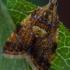 Alyvinis lapsukis - Pseudargyrotoza conwagana | Fotografijos autorius : Eglė Vičiuvienė (Černevičiūtė) | © Macrogamta.lt | Šis tinklapis priklauso bendruomenei kuri domisi makro fotografija ir fotografuoja gyvąjį makro pasaulį.