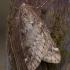 Ankstyvasis sprindžius - Alsophila aescularia | Fotografijos autorius : Žilvinas Pūtys | © Macrogamta.lt | Šis tinklapis priklauso bendruomenei kuri domisi makro fotografija ir fotografuoja gyvąjį makro pasaulį.