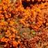 Apgaulusis krekenis - Trichia decipiens var. decipiens  | Fotografijos autorius : Vytautas Gluoksnis | © Macrogamta.lt | Šis tinklapis priklauso bendruomenei kuri domisi makro fotografija ir fotografuoja gyvąjį makro pasaulį.